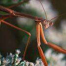 Autumn Mantis by David Lamb