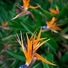 Italian flowers by Neil Buchan-Grant