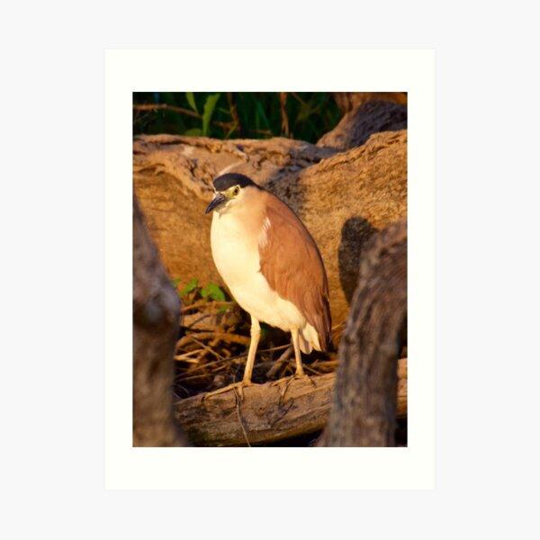 NT ~ WADER ~ Nankeen Night Heron by David Irwin ~ WO Art Print