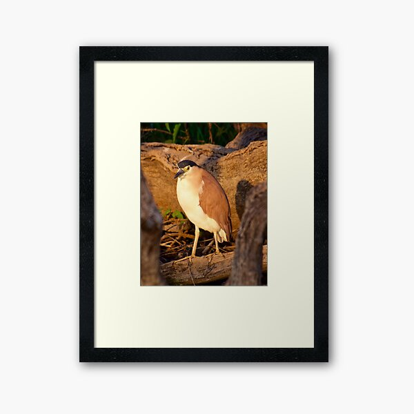 NT ~ WADER ~ Nankeen Night Heron PYA8MU5E by David Irwin ~ WO Framed Art Print