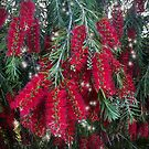 Christmas Callistemon by elee