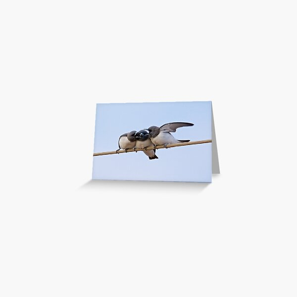 NT ~ SWALLOW ~ White-breasted Woodswallow 2GR7JFC9 by David Irwin ~ WO Greeting Card