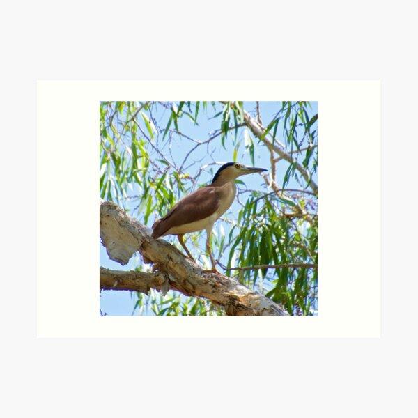 NT ~ WADER ~ Nankeen Night Heron P6QPJWN6 by David Irwin ~ WO Art Print