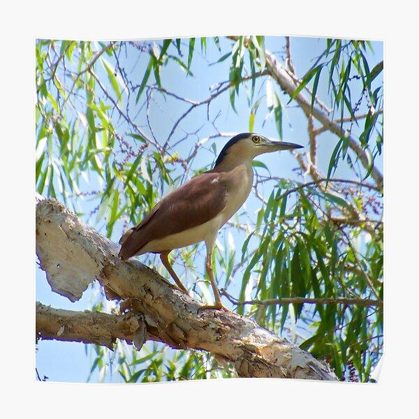 NT ~ WADER ~ Nankeen Night Heron by David Irwin ~ WO Poster