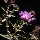 New England Aster  No. 1 by Max Buchheit