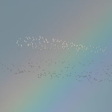 A murmuration of golden plovers in front of a rainbow, Bannow Bay, County Wexford, Ireland by AndyJones