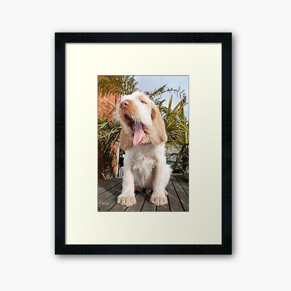 Yawning Spinone Puppy Framed Art Print