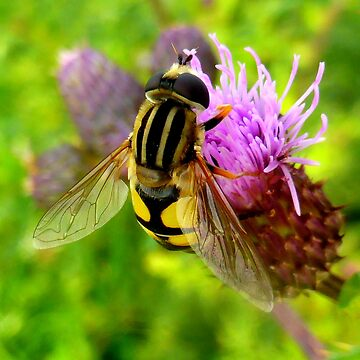 Hoverfly on Thistle by angel1