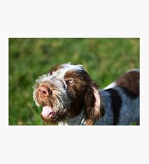 Spinone Puppy Smile - Brown Roan Italian Spinone Puppy Dog Head Shot Photographic Print