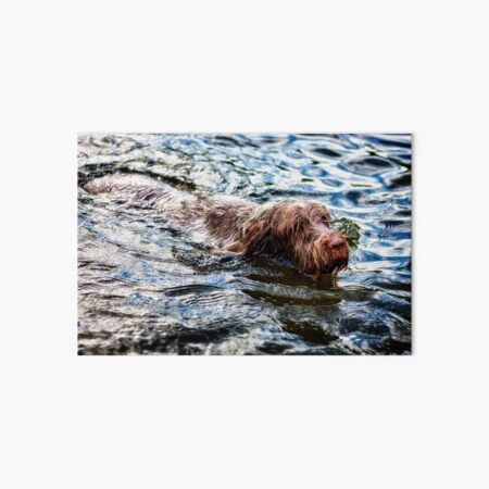 Swimming Spinone Art Board Print