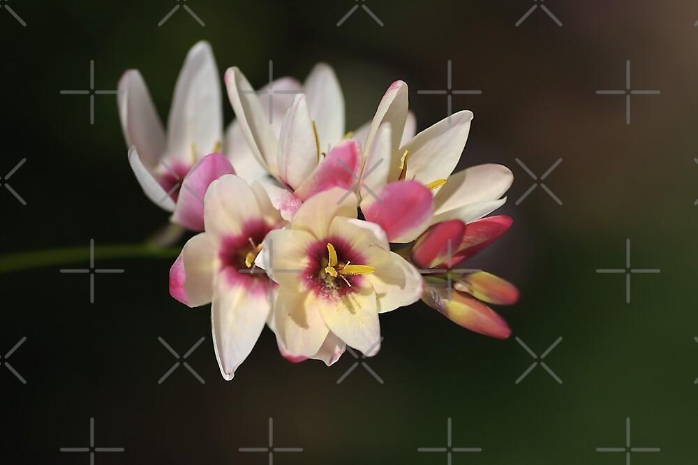 Spring Ixia  by Joy Watson