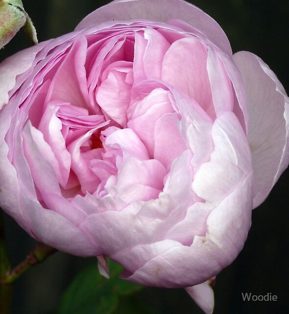 Mauve Peony Rose by Woodie