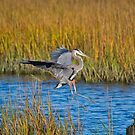 Great Blue Heron Landing on Stump by TJ Baccari Photography