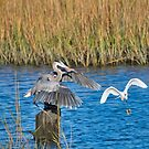 Great Blue Heron Landed by TJ Baccari Photography