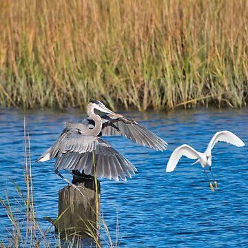 Great Blue Heron Landed by imagetj