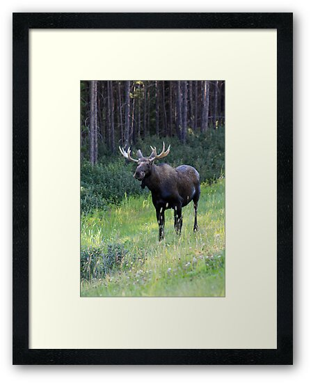 Canadian Moose by Alyce Taylor