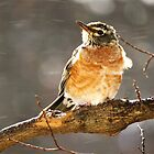 Young Robin Blowing in the Wind  by lorilee