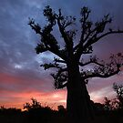 Baobab Tree at Sunrise by helenlloyd
