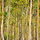 Gum Trees Cape Le Grande National Park by Citrusali