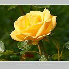 Beautiful  Nature: Roses - 3 by houk