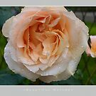 Beautiful  Nature: Roses - 4 by houk