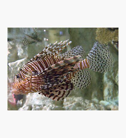 Real Fancy ~ Scorpion Fish Photographic Print