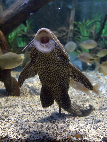 Give me a kiss plecostomus or algae eaters posters by for Fish that eat algae