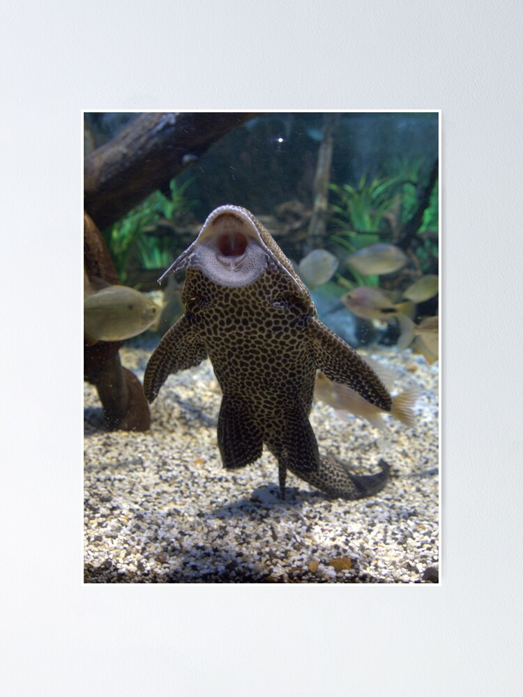 Give Me A Kiss Plecostomus Or Algae Eaters Poster By Clive Redbubble