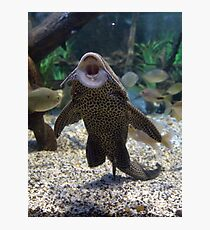 Give Me A Kiss ~ Plecostomus, or Algae eaters Photographic Print