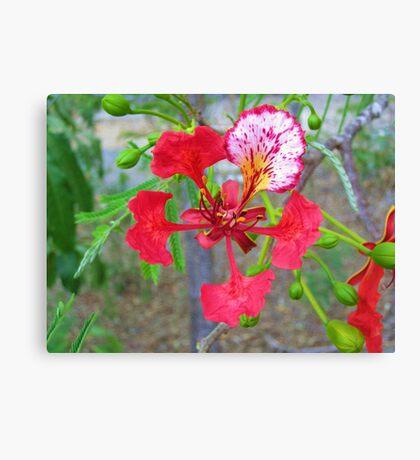 Poinciana Flower Canvas Print