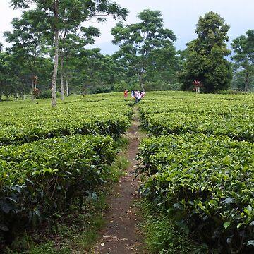 tea garden in puncak Bogor by noegrr