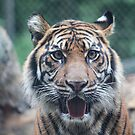 Tiger's Attention by Bob Hardy
