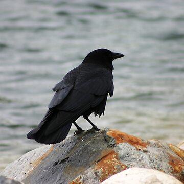 American Crow by alycetaylor