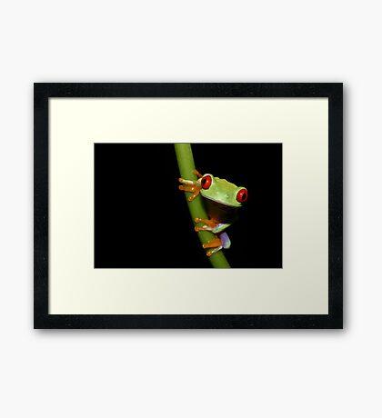 Red eyed tree frog on stalk Framed Print