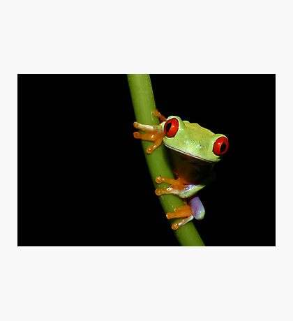 Red eyed tree frog on stalk Photographic Print