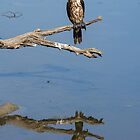 'Stained' Little Pied Cormorant with reflection  by mncphotography