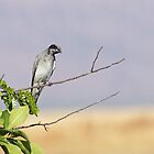 Black-Faced Cuckoo-shrike by mncphotography