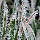 Frosty Grass by Nancy Barrett