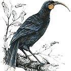 Huia, Native bird of New Zealand by EmilieGeant