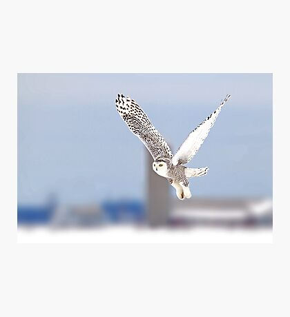 Along a country road - Snowy Owl Photographic Print