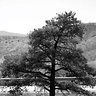 Single Leaning Pine in Black and White by Colleen Cornelius