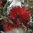 Christmas Themed Bottlebrush by skyhorse