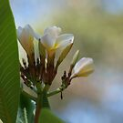 Tropical Frangipani Flower # 1 by Virginia McGowan