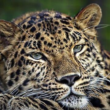 Amur Leopard by dawnmvd