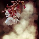 English Spring Cherry Blossom by ImogenC