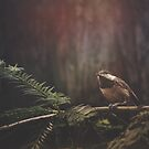 Chickadee in the Redwoods by Christopher Burton