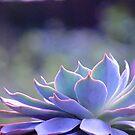 Echeveria Silver Queen by Gabrielle  Lees