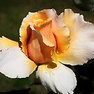 Fragrant rose by Fran Woods