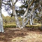Gum trees by Fran Woods