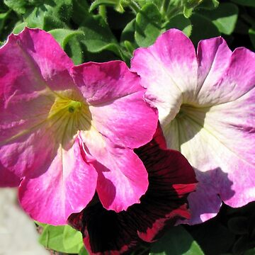 Pink and Crimson Petunias by kathrynsgallery